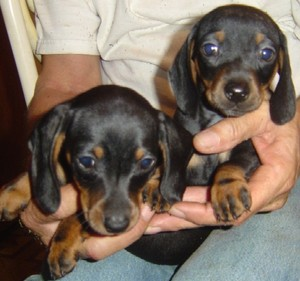 Miniature Dachshund Puppies For Bargain-priced In Houston