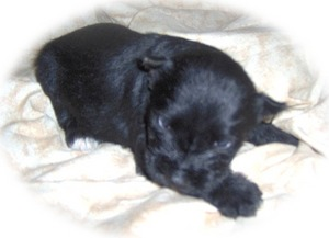 Miniature Schnauzer Puppies on Community   General Community   Miniature Schnauzer Puppies