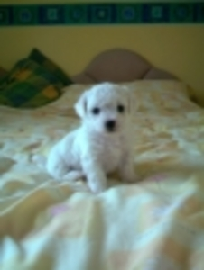 Houston > Classifieds > General for Sale > Bichon Frise for adoption