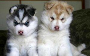 Houston Adorable Blue Eye Siberian Husky Puppies For Sale